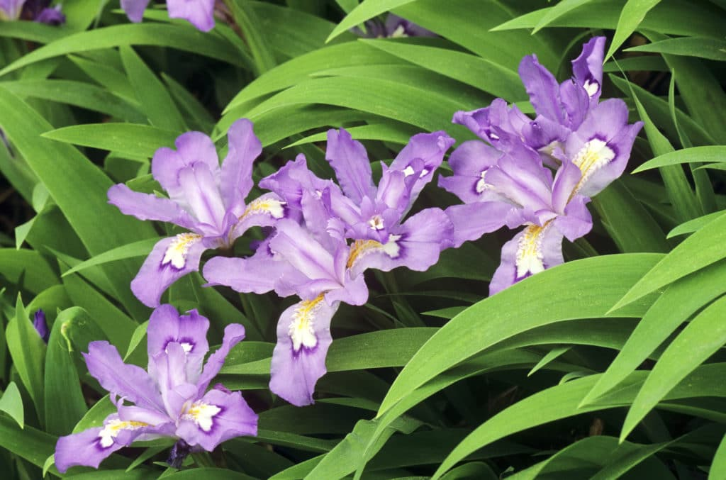 Dwarf Crested Iris is a beautiful shade perennial!