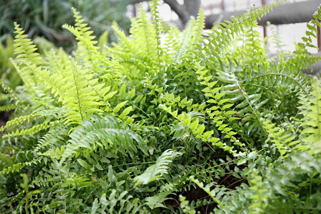 Ferns make beautiful shade perennials!