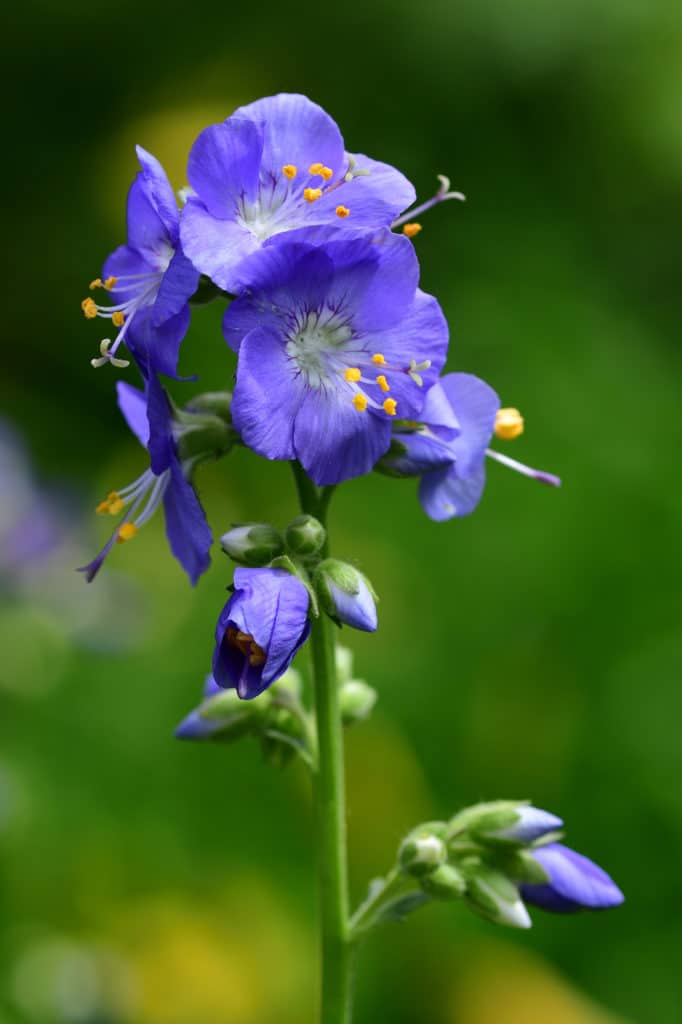Jacobs Ladder Shade Perennial