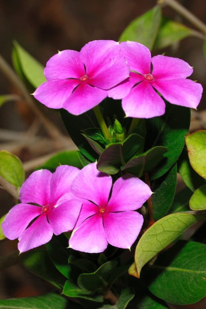 Periwinkle is a beautiful shade perennial!