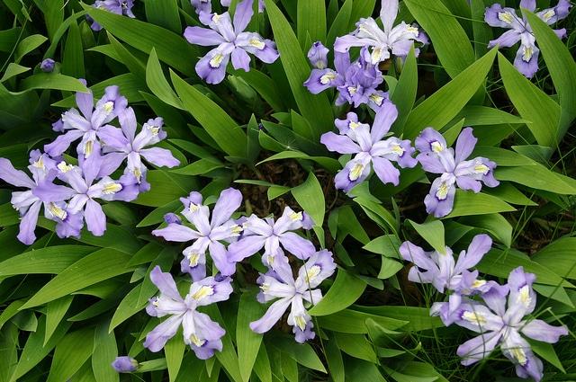 Shade perennial crested iris