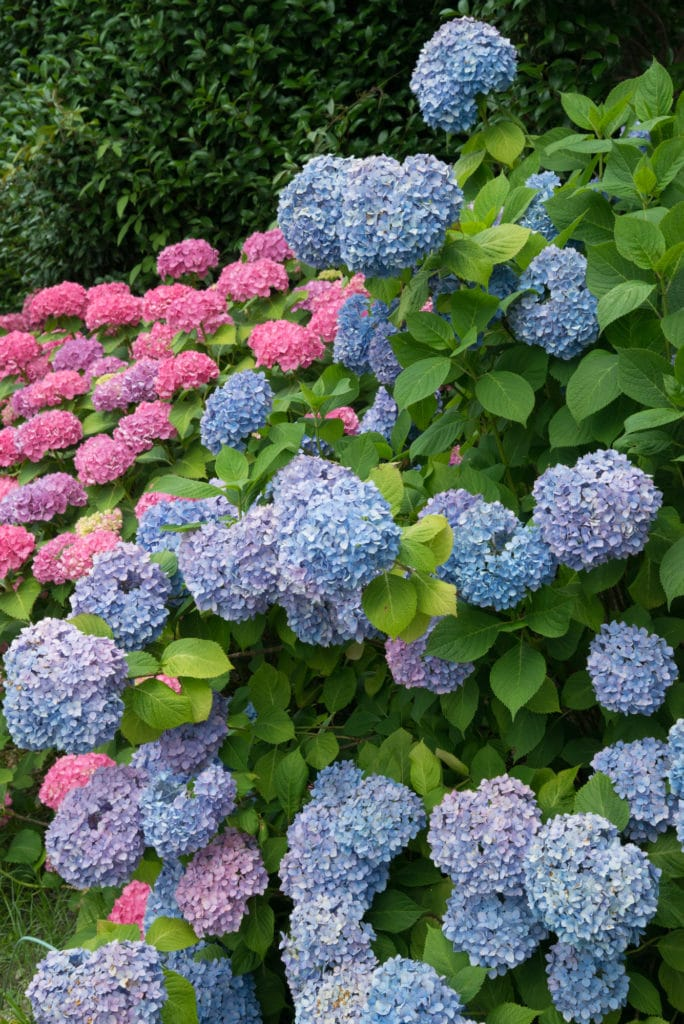 Hydrangeas make beautiful shade perennials!