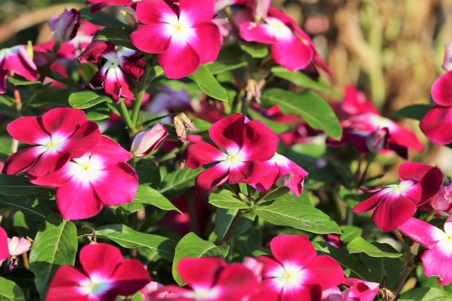 periwinkle shade perennial