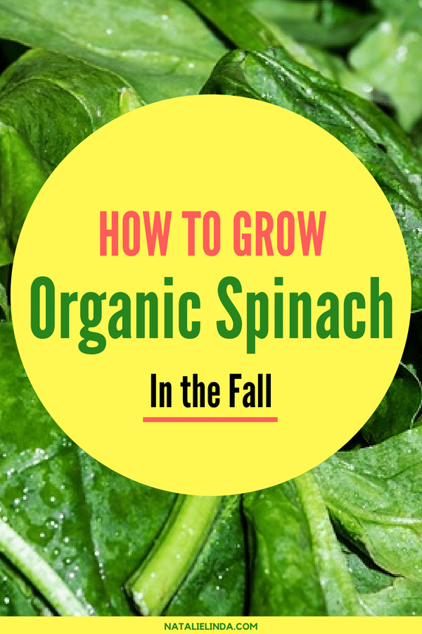 Learn to grow organic spinach in your garden so you can enjoy it year-round! Take a read for easy-to-follow growing instructions!