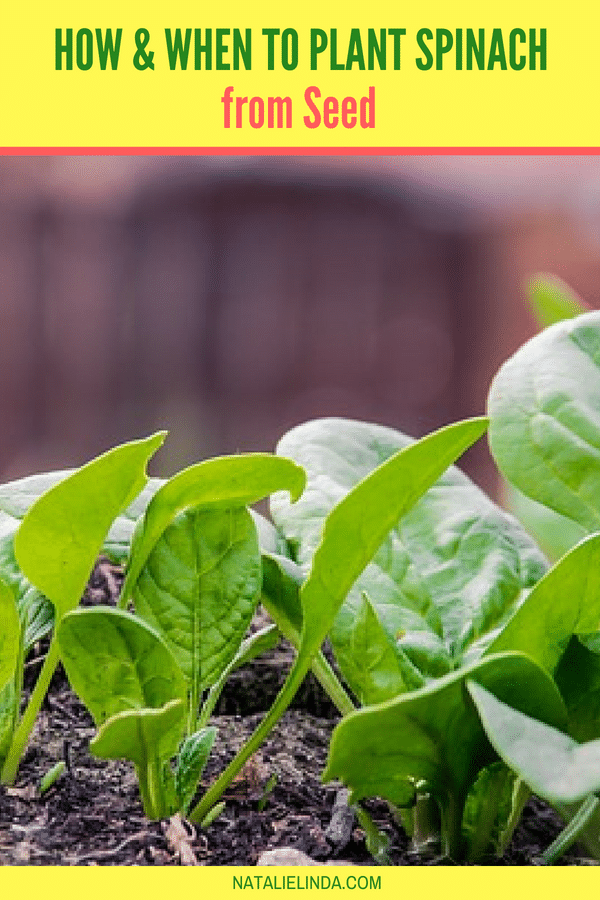 Learn to grow spinach from seed - spinach is a fast grower! Plant it in the Fall for harvest after a few weeks!