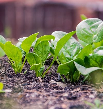 How to Grow and Harvest Spinach