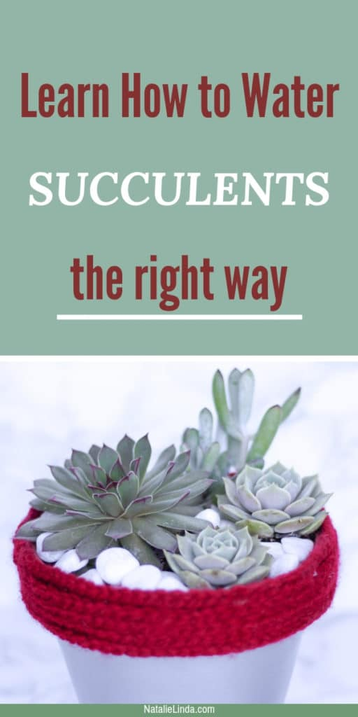 Learn how to water succulents the right way!