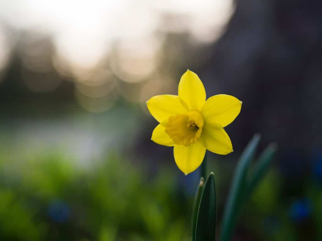 Plant Narcissus in the Fall with your other fall bulbs in your garden!