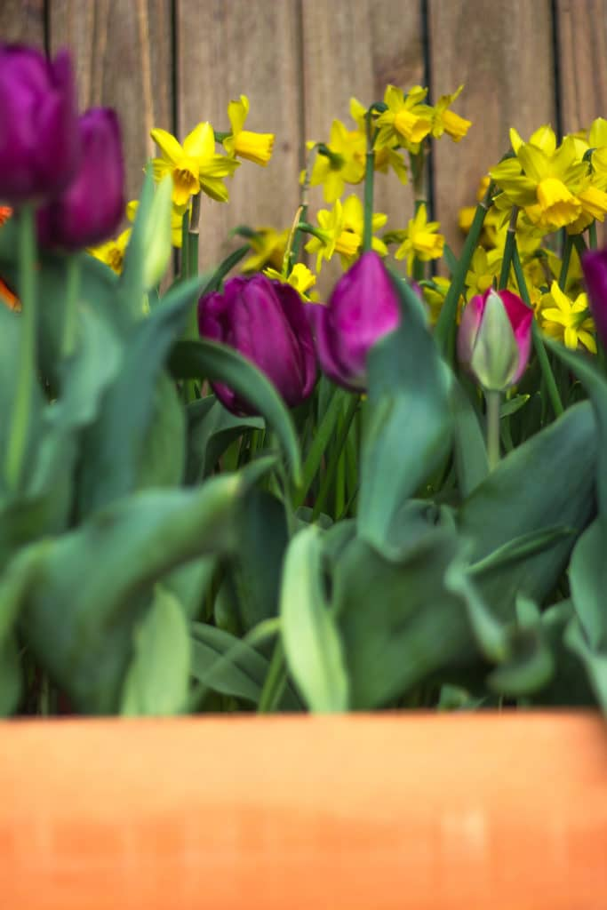 Tulips are Spring-blooming bulbs that should be planted in the Fall!