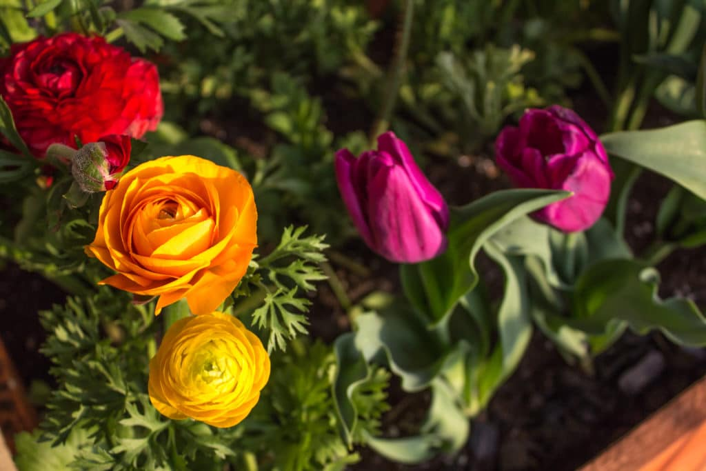 Ranunculus flowers grow from bulbs that should be planted in the Fall!