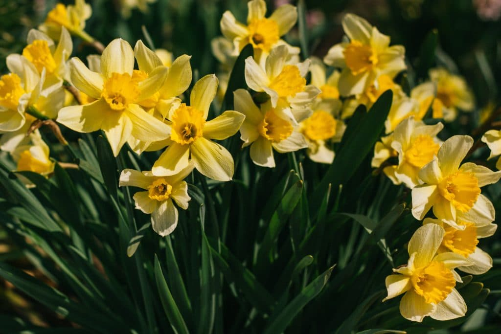 Plant daffodils bulbs in the Fall!
