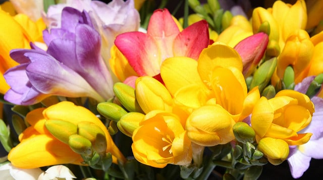 Plant colorful freesia bulbs in the Fall with your other Fall garden bulbs!