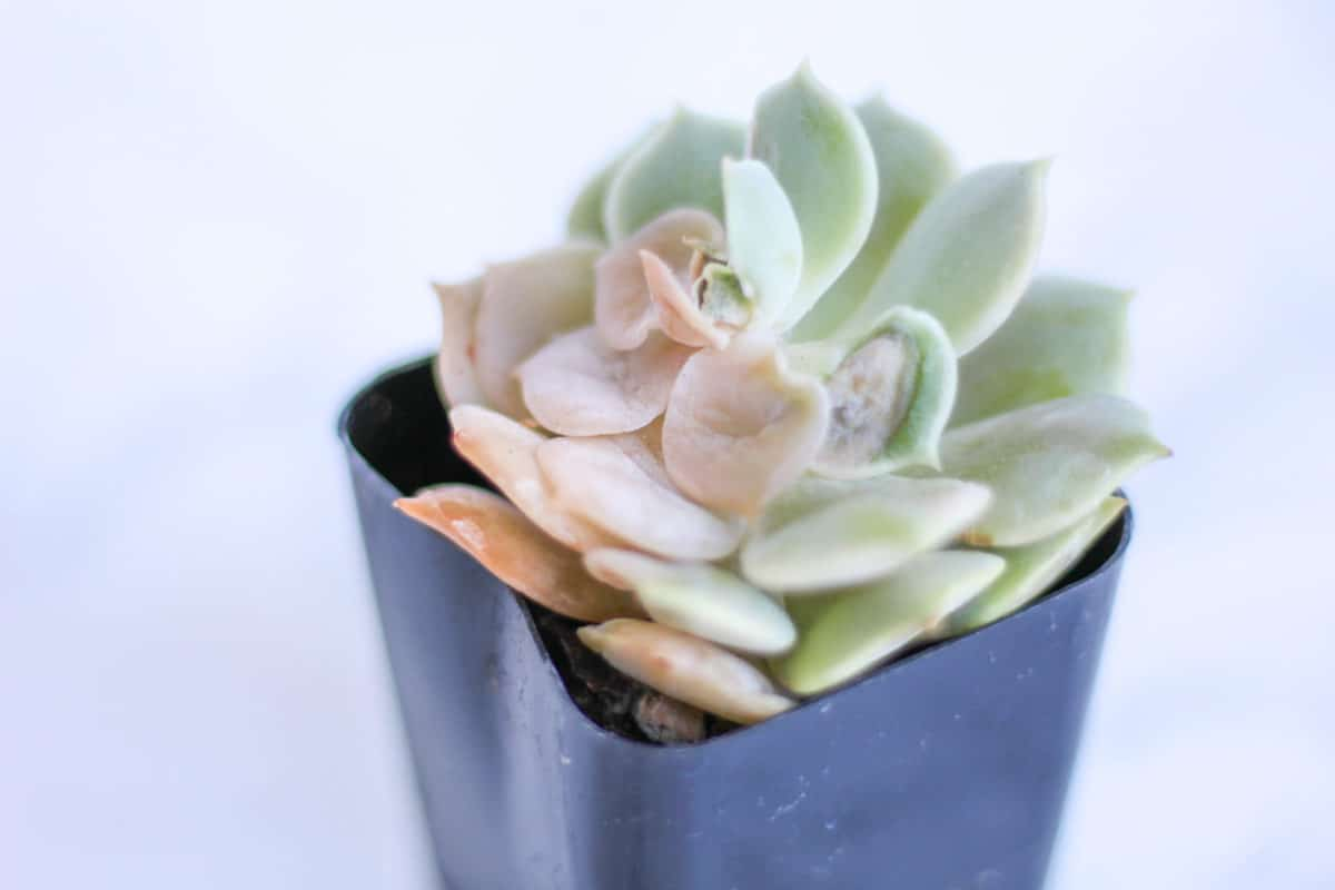 when to water succulents