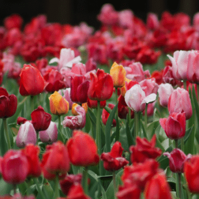 8 Spring-Blooming Bulbs to Plant in the Fall