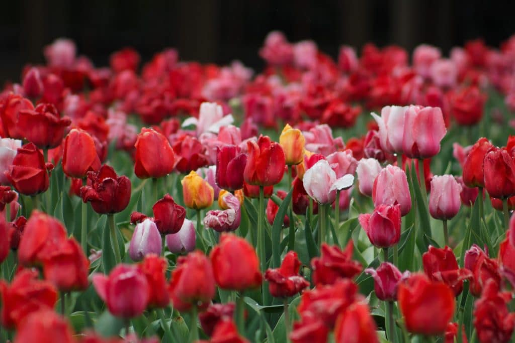 Tulips bulbs should be planted in the Fall!
