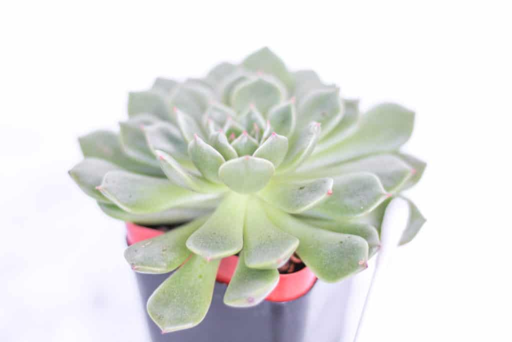 succulent with mealybugs