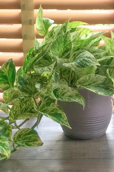 Learn to grow a pothos!