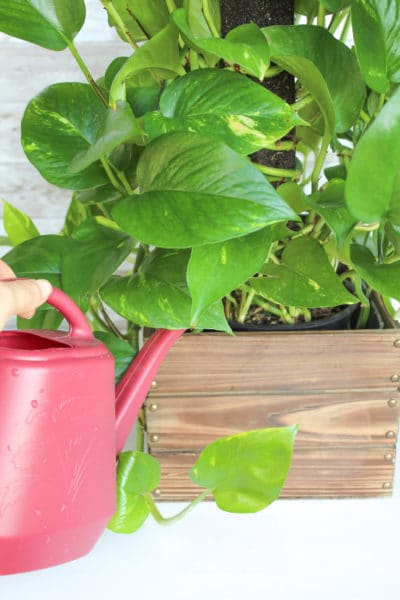 How to Care for a Pothos Plant