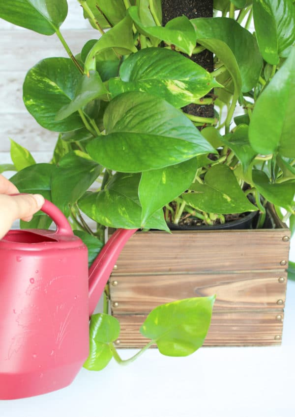 How to Care for a Pothos Plant: The Perfect Houseplant for Gardening Beginners