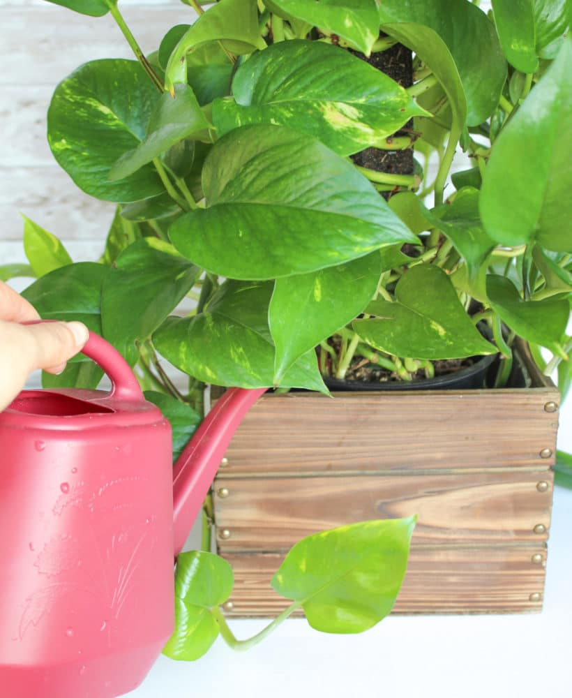 How to Water a Pothos Plant