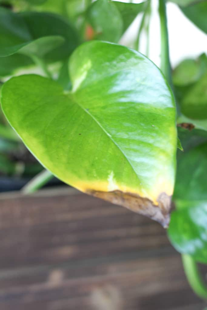 Black leaves on a pothos plant indicate over-watering