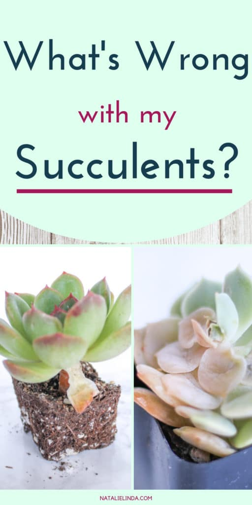 Learn all about common problems that plague succulents and how to fix them!