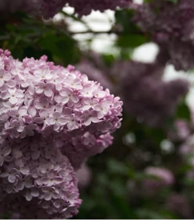 Why Your Lilac Bush Isn't Blooming and What You Can Do About It