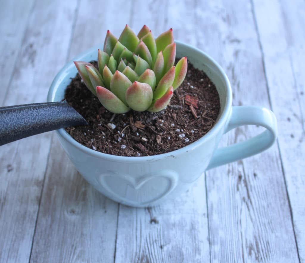 learn how to water the succulents in your fairy garden!