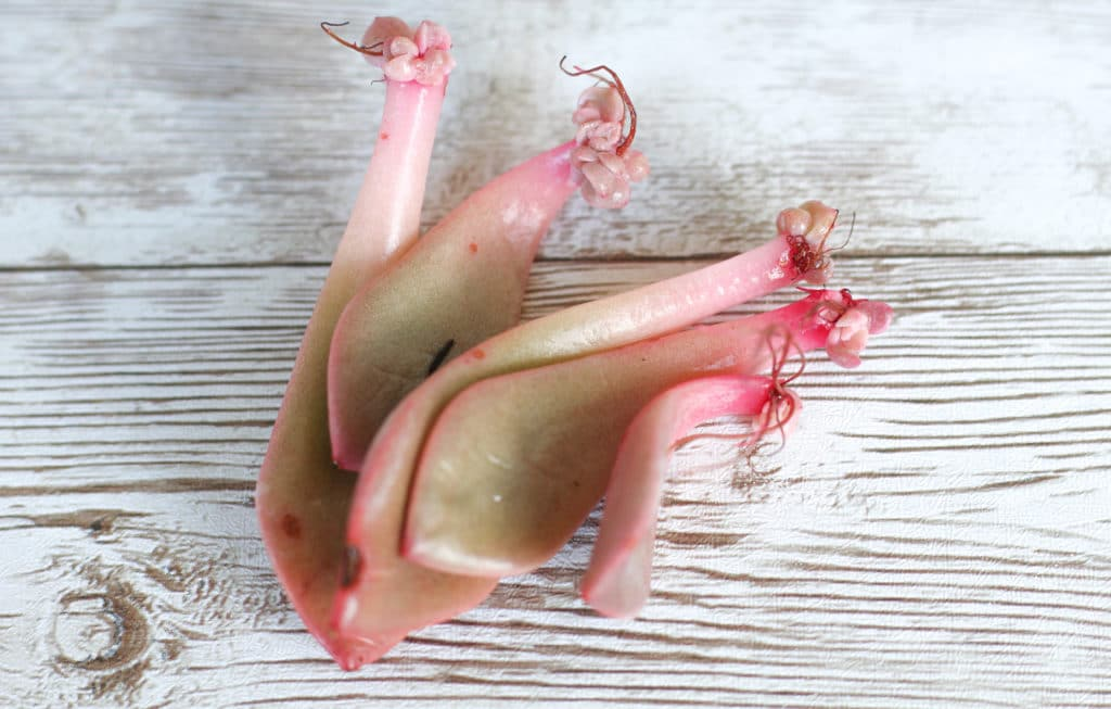 Learn to propagate succulents from cuttings!