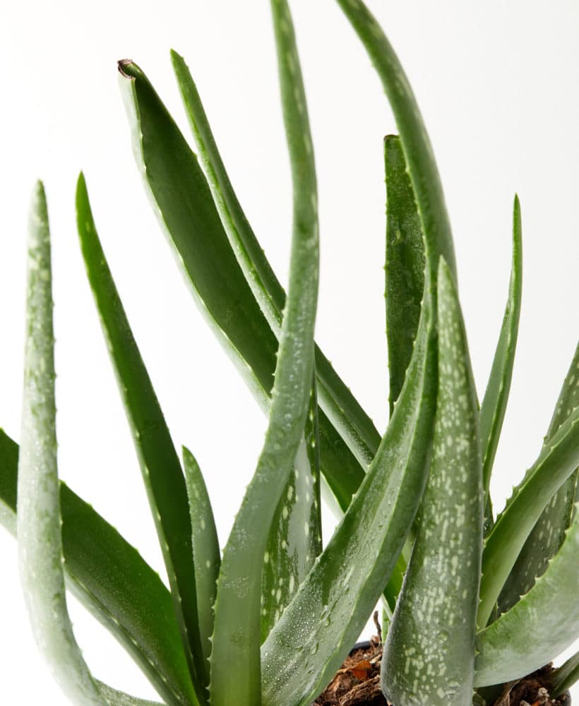 Learn how to care for an aloe vera plant!