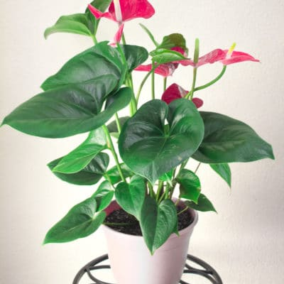 Anthuriums: How To Care for This Long-Blooming and Tropical Houseplant
