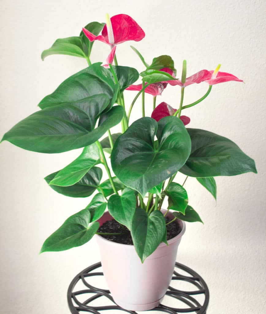 Learn how to grow beautiful anthurium houseplants!
