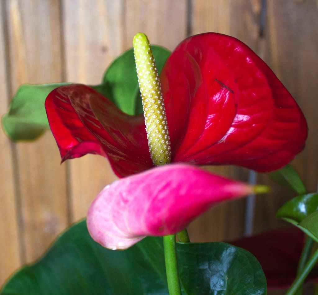 Anthuirum houseplants are super easy to care for and their blooms are long-lasting!