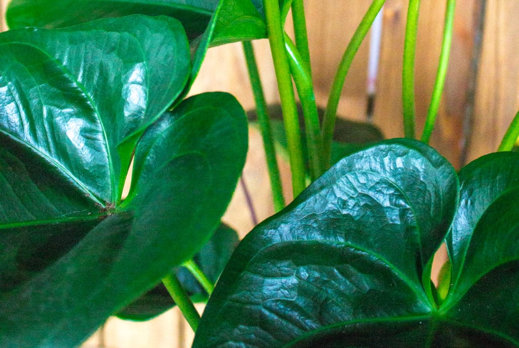 Anthurium plant care is easy and low-maintenance! Learn all about anthuriums!