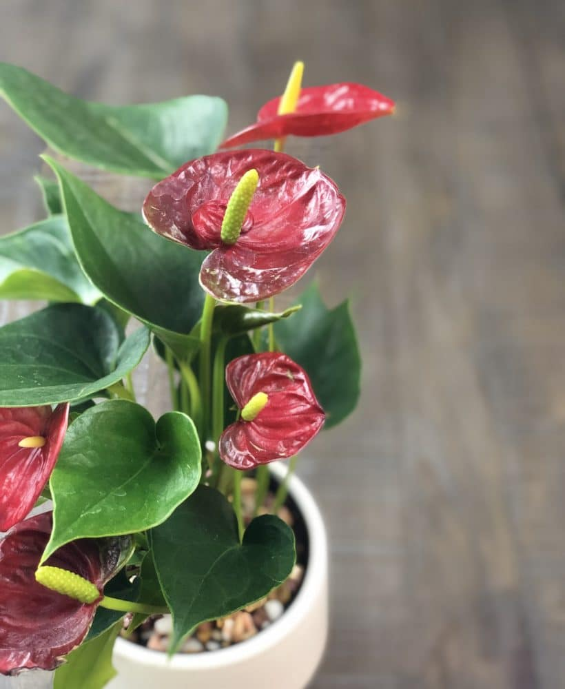 Learn how to care for an anthurium plant!
