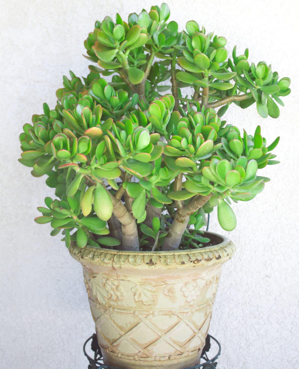 Learn how to water succulents with these easy tips!