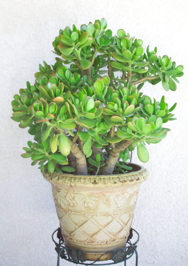 Learn how to grow jade plants, indoors or outdoors!