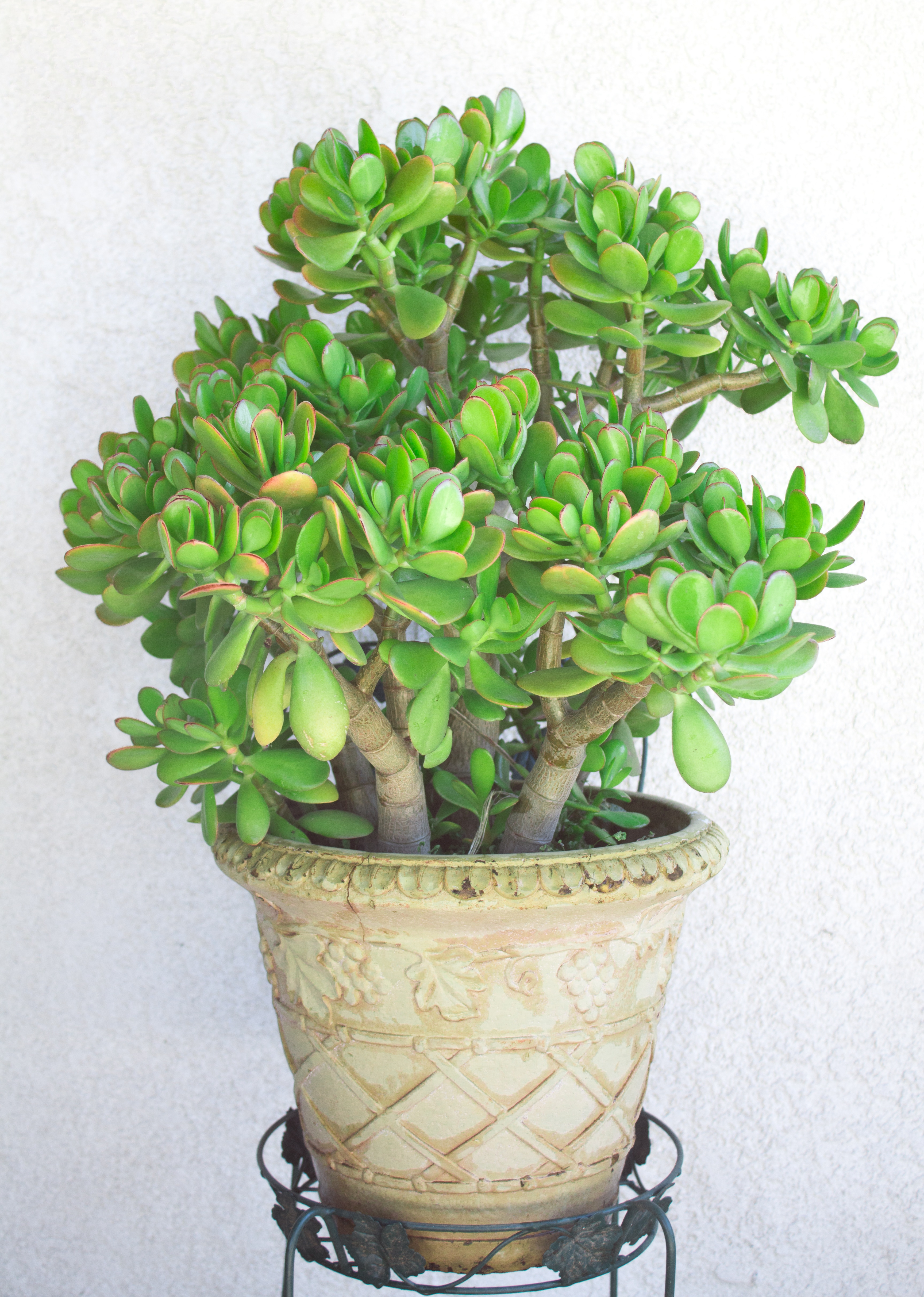 How To Care For A Jade Plant Natalie Linda