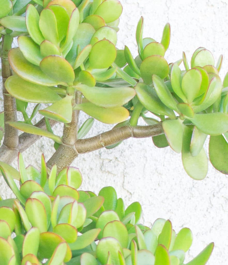 Jade Plants are succulents that feature woody stems. Learn how to grow a jade plant in your home or garden!