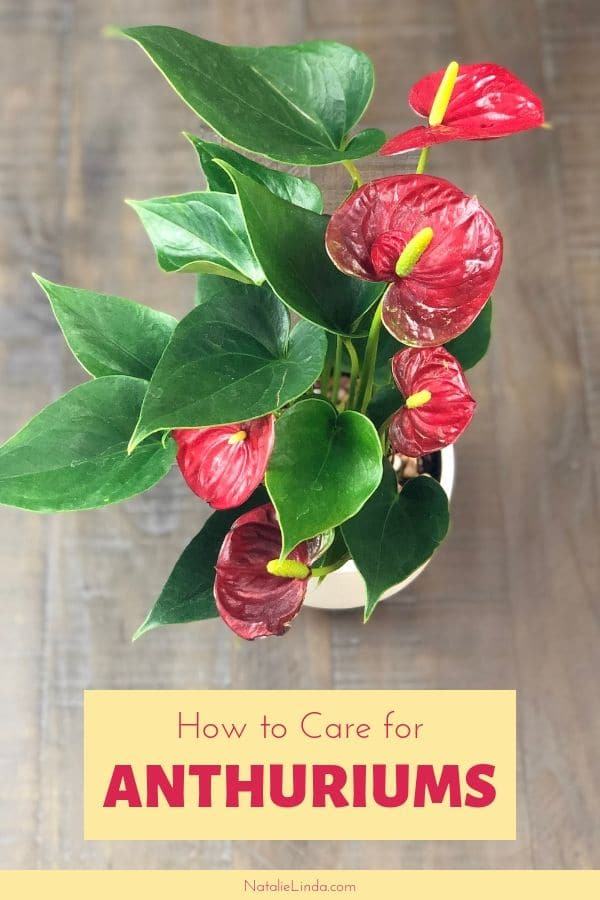 Learn how to care for an anthurium plant with this helpful post!
