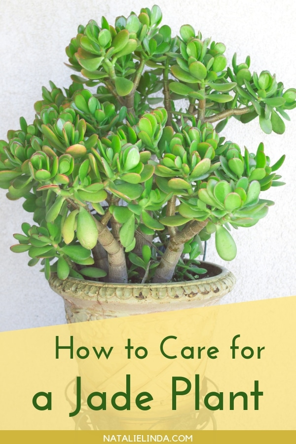 Jade plants are ultra low-maintenance succulents - learn how to grow them indoors or outdoors!