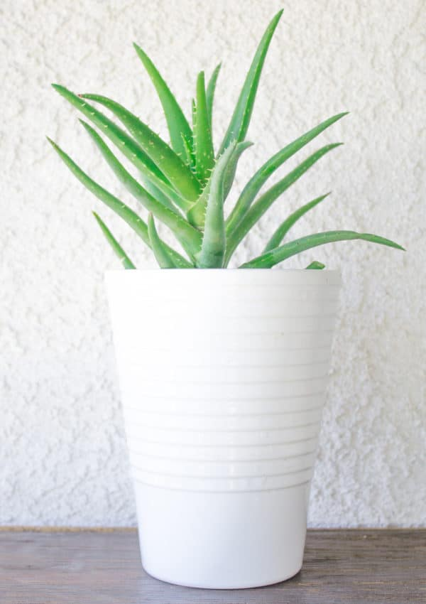 Learn how to grow an aloe vera plant indoors and outdoors!