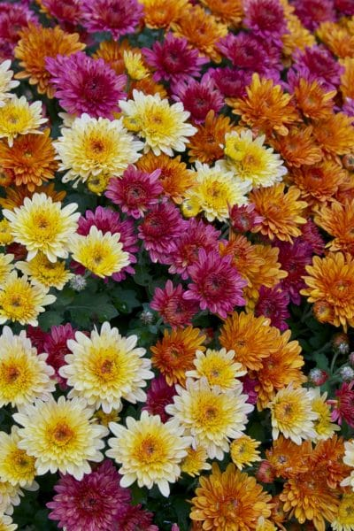 Plant Chrysanthemums for their mosquito-repelling properties!