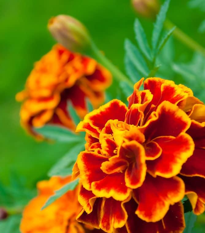 Marigolds arelong-blooming