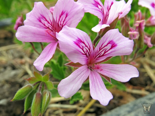 Add scented geraniums in your yard as a mosquito-repellent!