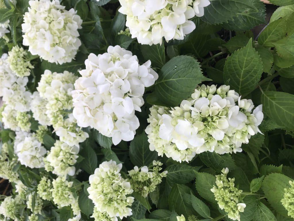 Hydrangeas make beautiful shade perennials for your shade garden!