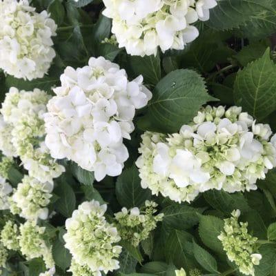 How To Grow Hydrangeas in Your Garden