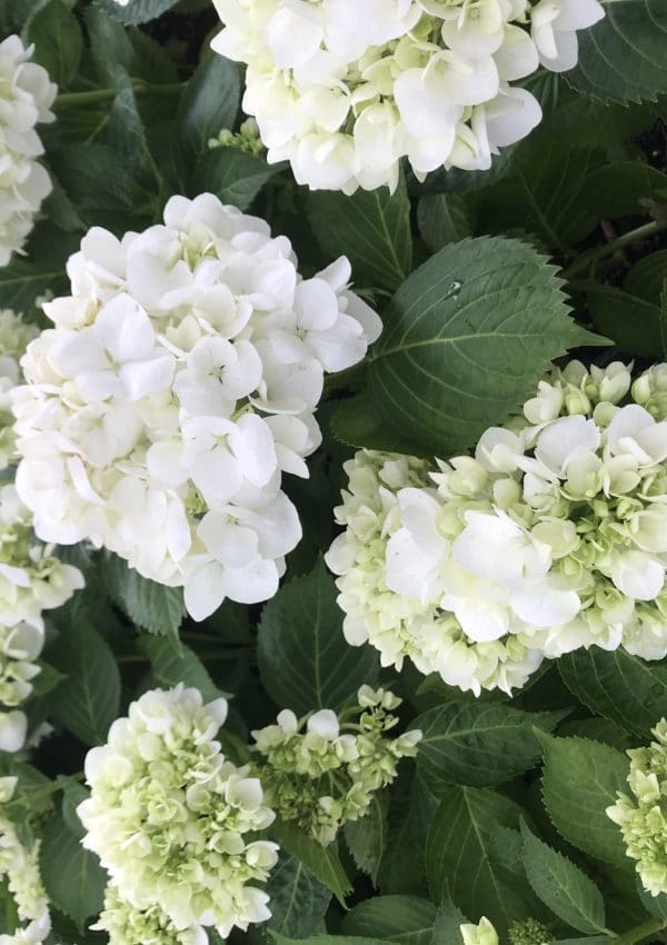 How To Grow Hydrangeas in Your Garden