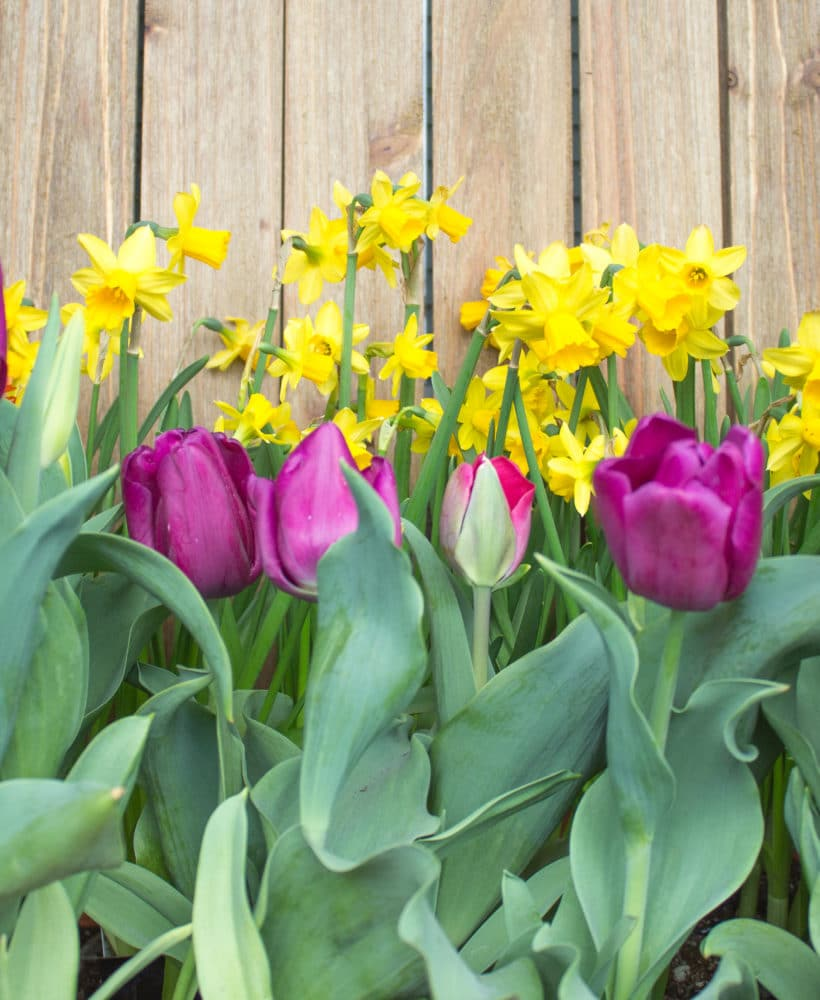 These bulbs should be planted in the Fall for Spring bloom!