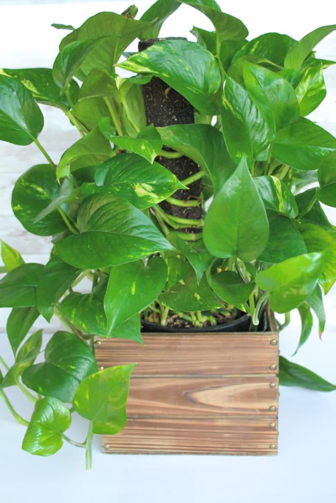 Pothos plant is the perfect low light plant!